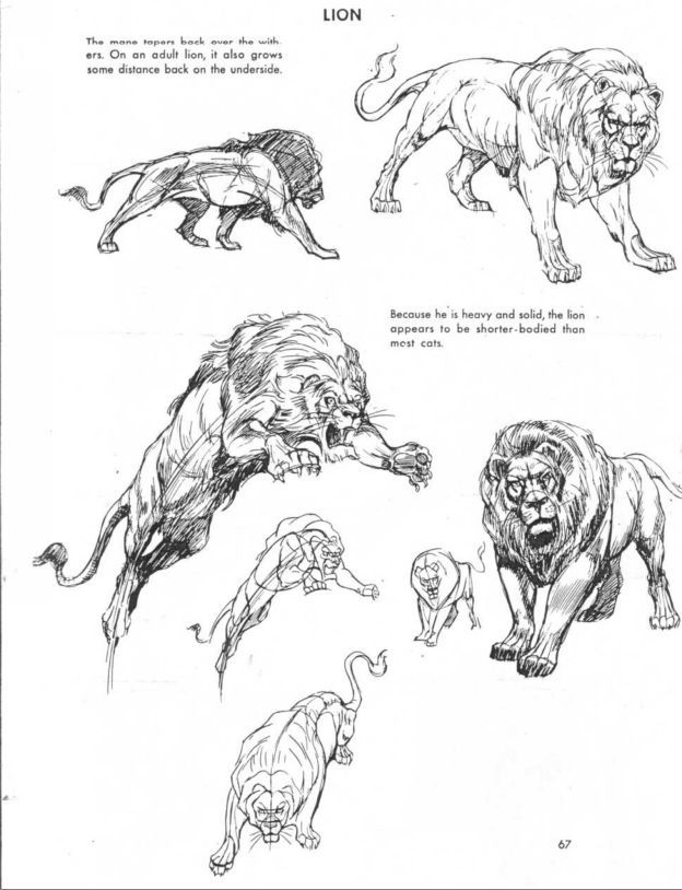 How to draw a panther big cat Anatomical Study Animal Drawing
