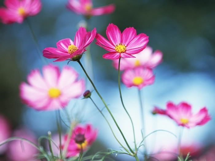 Pretty Flower Photos Cosmos Flowers Flowers Photography