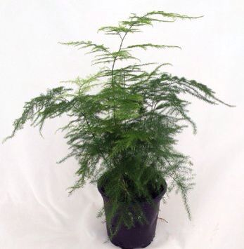 Bamboo Fern House Plant