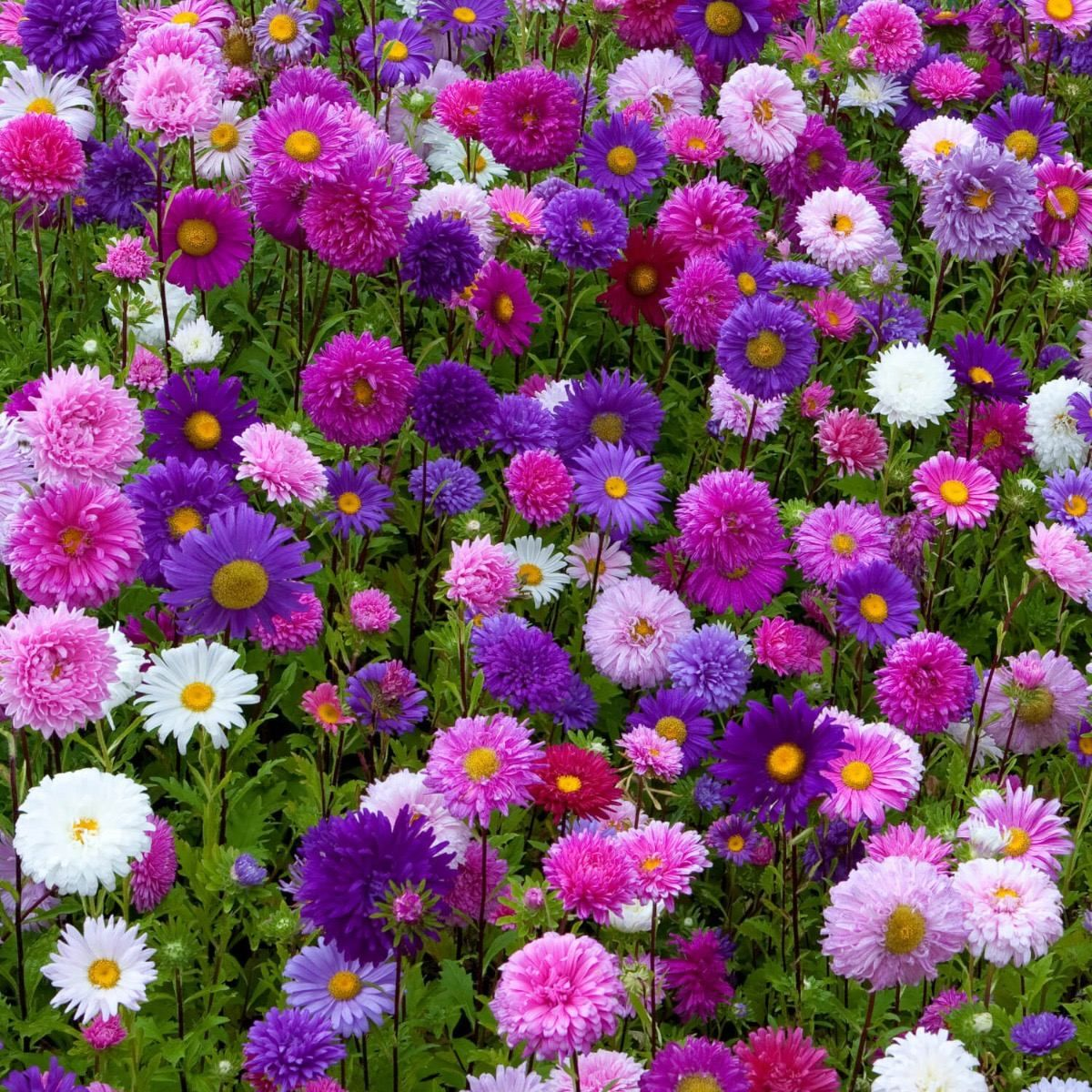 Aster De China O Reina Margarita Callistephus Chinensis In 2020 Aster Flower Flower Farm Flower Seeds