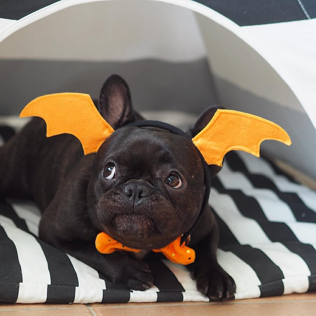 Nana Nana Nana Nana Bat Pig French Bulldog Puppy In A Costume