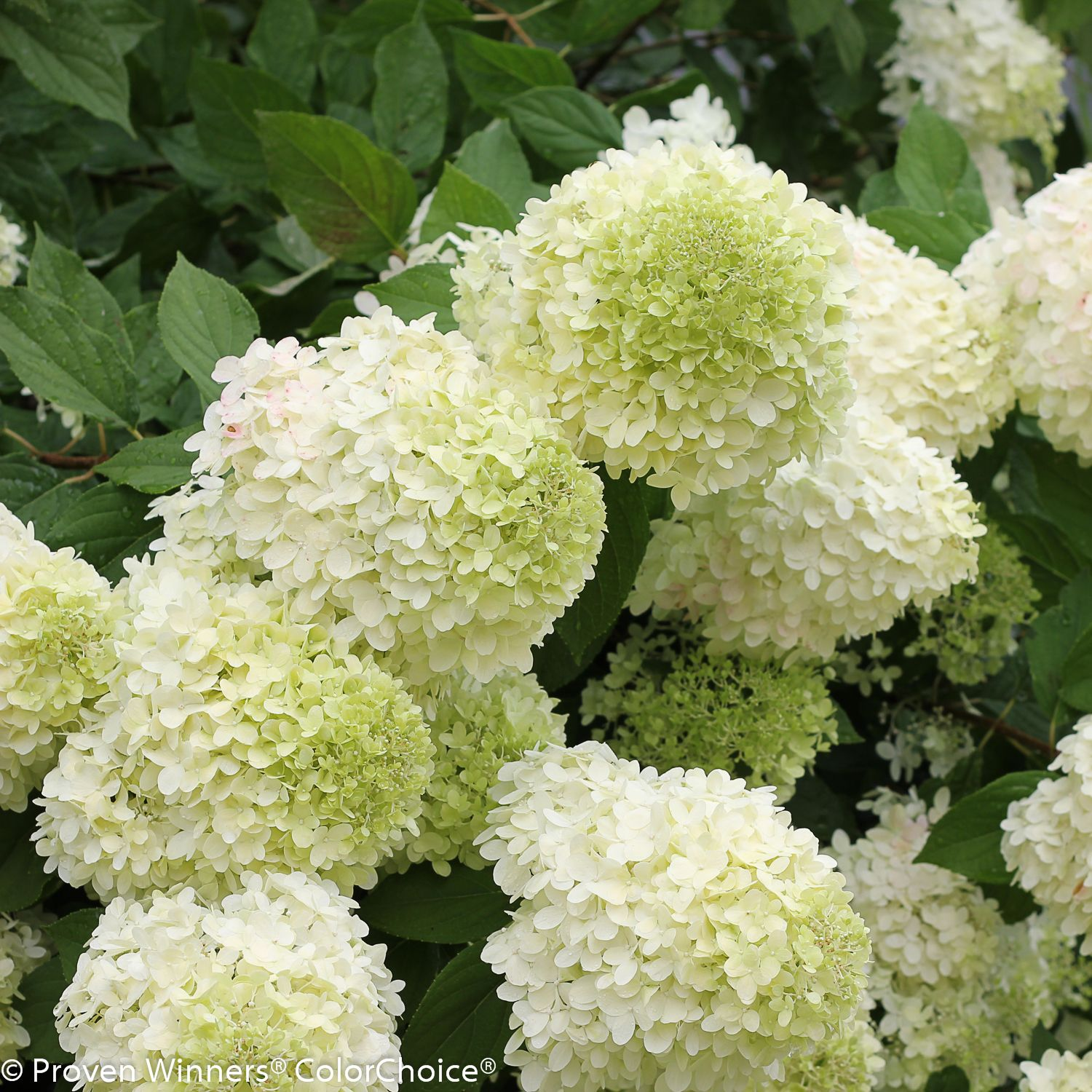 Most Hydrangeas Prefer Only Morning Sun Yet One Type Of Hydrangea Can Soak Up The Sun All Day The Panicle Hy Hydrangea Care Panicle Hydrangea Hardy Hydrangea