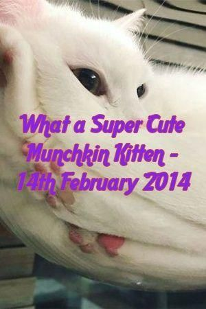 #australianmist   #pets   #catoftheday   #animals   #lovecats   #Kittens   #Cats   #Patterns #Lyman #Tells Molly Lyman Tells About What a Super Cute Munchkin Kitten – 14th February 2014