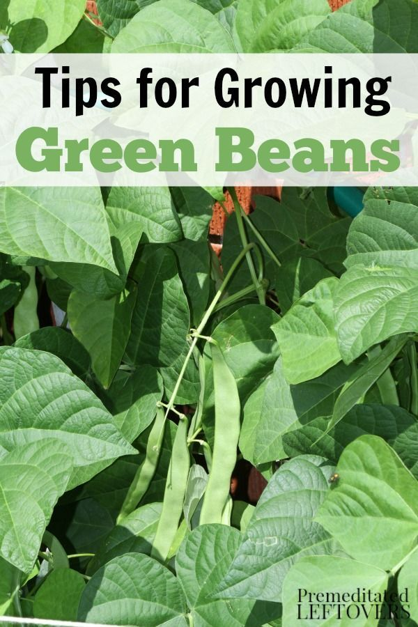 How To Grow Green Beans Growing Green Beans Growing Beans Planting Green Beans
