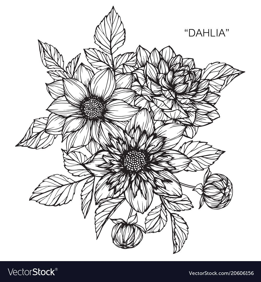 Dahlia Flower Drawing Vector Image On Vectorstock In 2020 Flower Drawing Flower Line Drawings Dahlia Flower