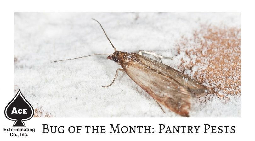 Beetles And Weevils And Moths Oh My What Pests Are Invading Your Pantry Head Over To Our Blog To Find Out Pantry Moths Insect Pest Insects