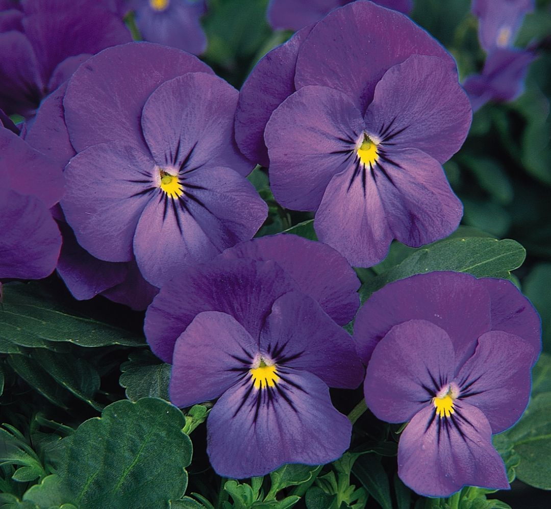 Viola 'Sorbet™ Blue Heaven' | Hornvioler | Purple garden, Pansies og Johnny jump up