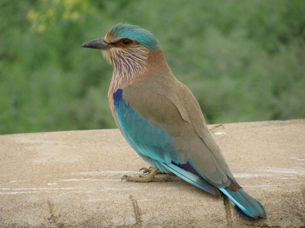 nilkanth bird - Google Search | Birds flying, Bird, Nilkanth