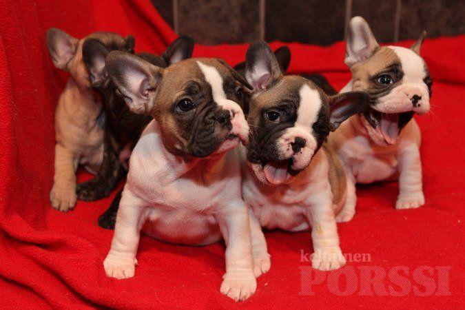 Bulldog frenchies puppies french bulldog pups