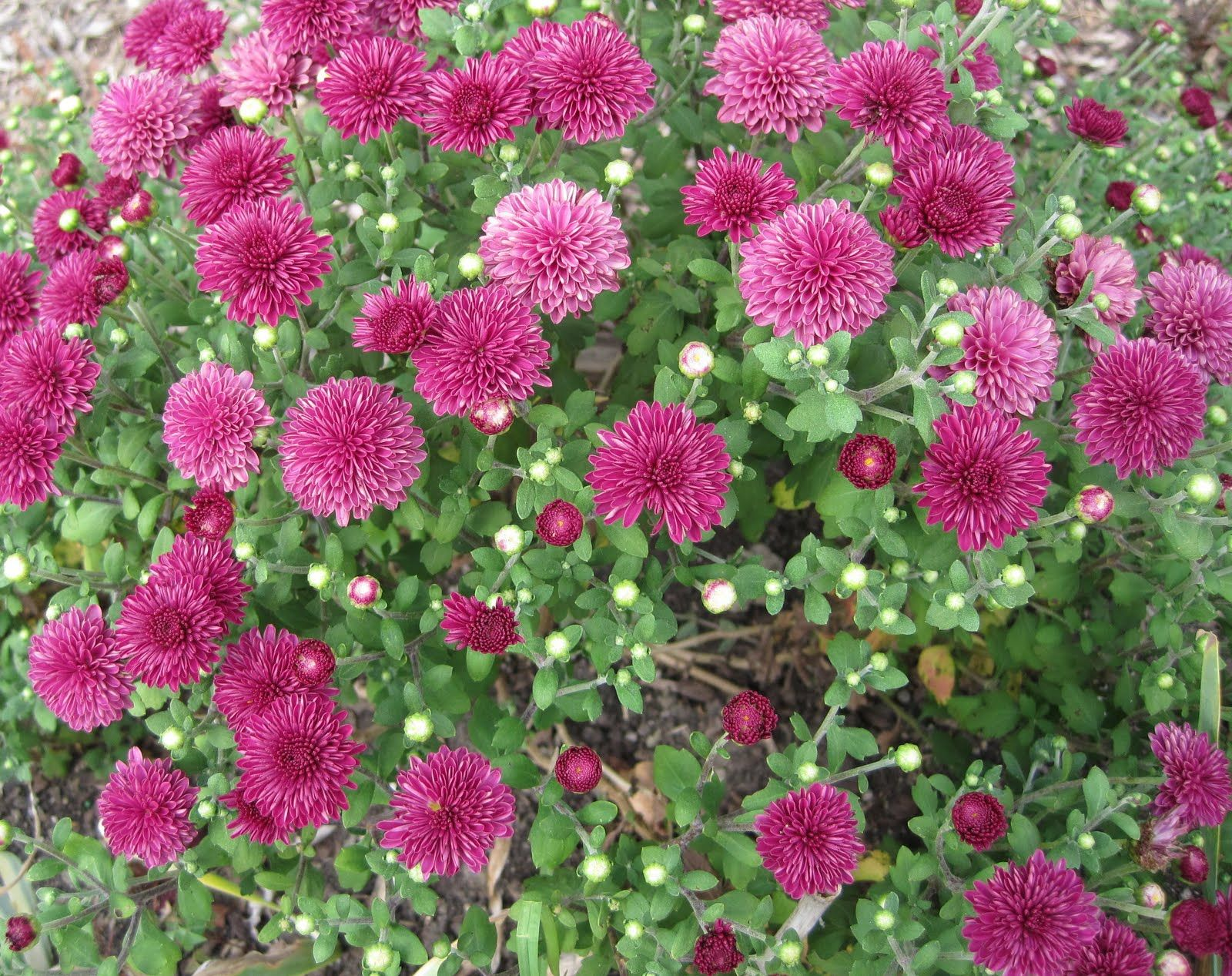 When should you plant mums gardening pinterest plants and gardens when should you plant mums izmirmasajfo