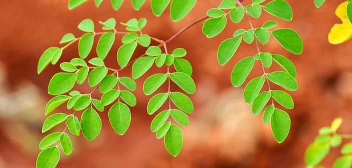 Super Healthy Moringa Leaves Benefits for Nursing Women - Breastfeeding requires mother to eat very healthy food as the new baby is growing and demanding healthy breast milk. Moringa Leaves are one of super foods recommended for breastfeeding mothers to stay healthy and produce healthy breast milk.