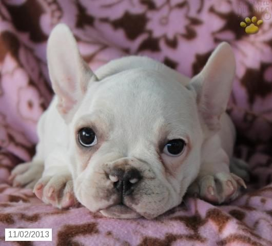 French Bulldog Puppy For Sale French Bulldog Puppies French Bulldog Lancaster Puppies