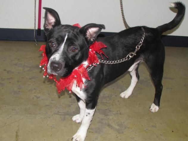 Adopt Oakley On Pitbull Terrier Pets Dogs