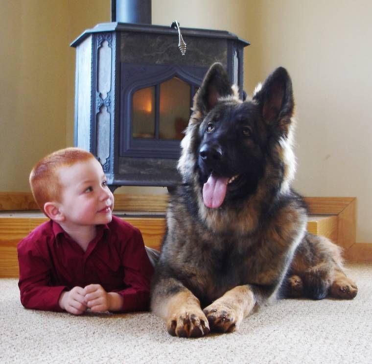 Shiloh Shepherds Beautiful Dogs Shiloh Shepherd Shiloh Shepherd Dog Shiloh Shepard