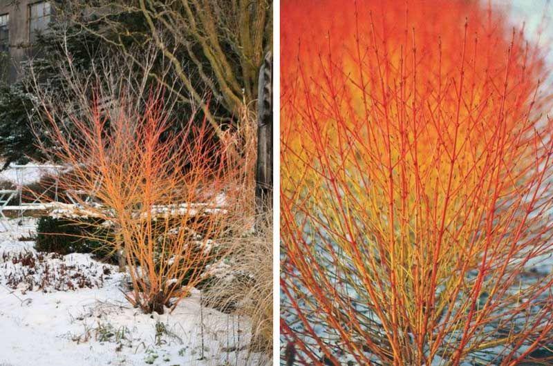 5 arbustes à bois coloré qu\'il faut avoir dans son jardin d ...