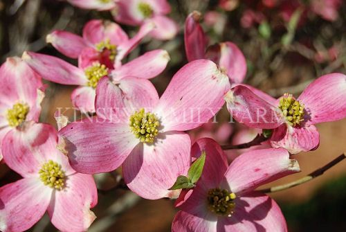 Pink Rubra Dogwood Tree A Pink Flowering Variety Of Cornus Florida Perfect For An Understory Planting Kinsey Family Farm Gainesville Ga Plants Dogwood Trees Plant Nursery