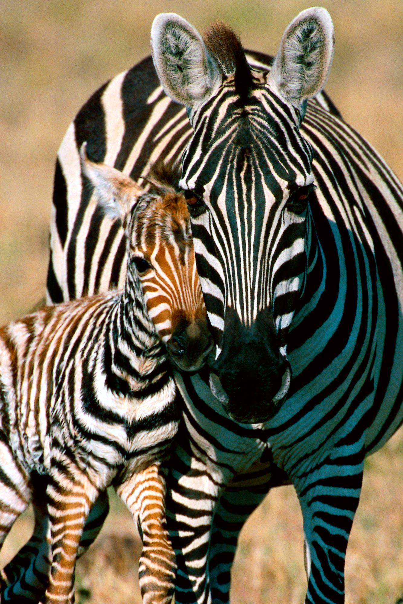 Zebras Zebras, Animals wild, Animals beautiful