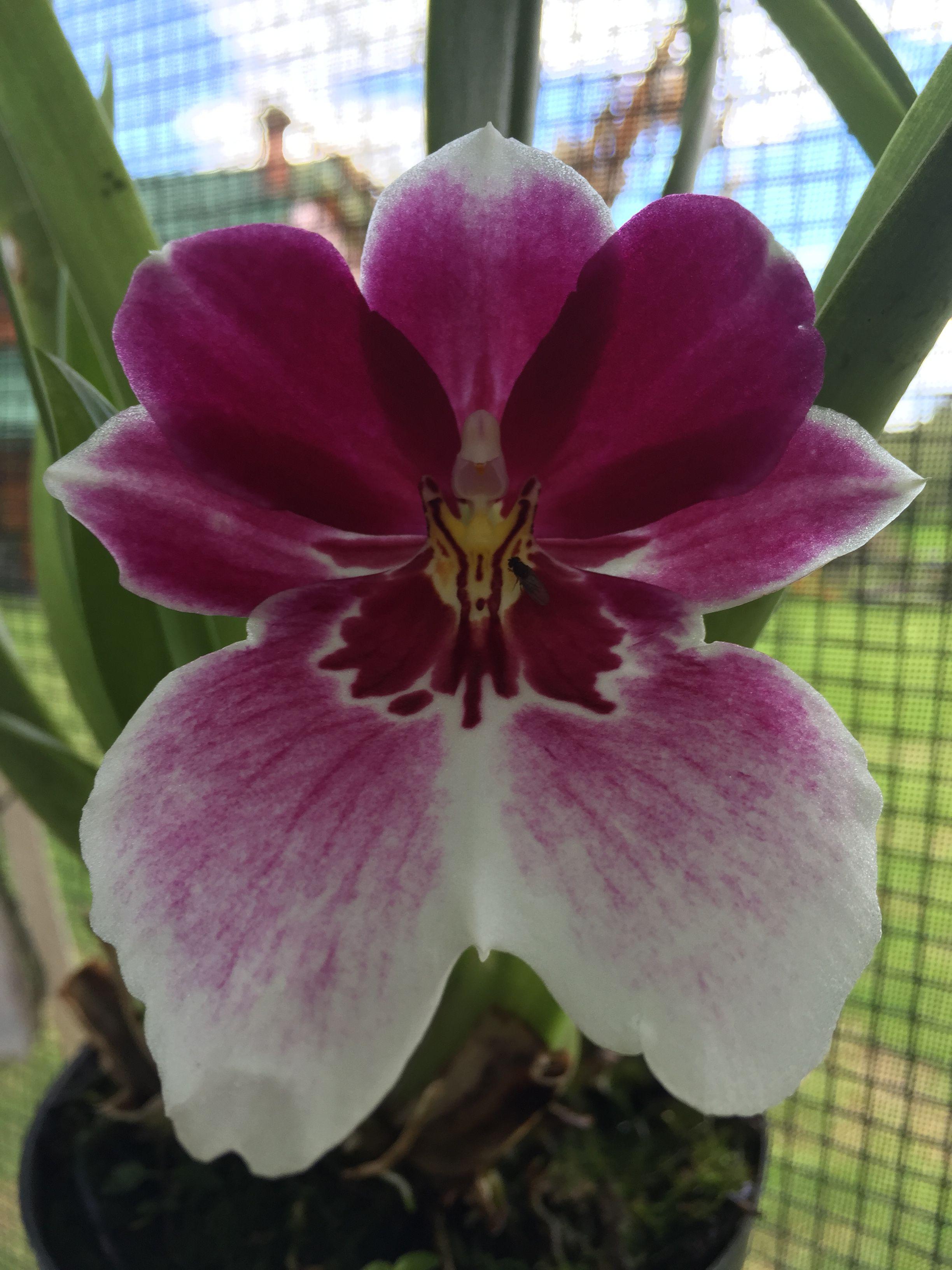 Orquídea miltoniopsis sp flowers pinterest flowers plants and
