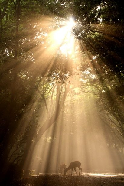 Rain Fall Live Wallpaper Sun Shining Through The Trees And Deer Natural Beauty