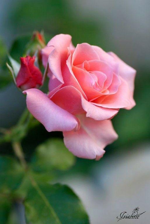 Красивые фото и открытки с розами - белые алые