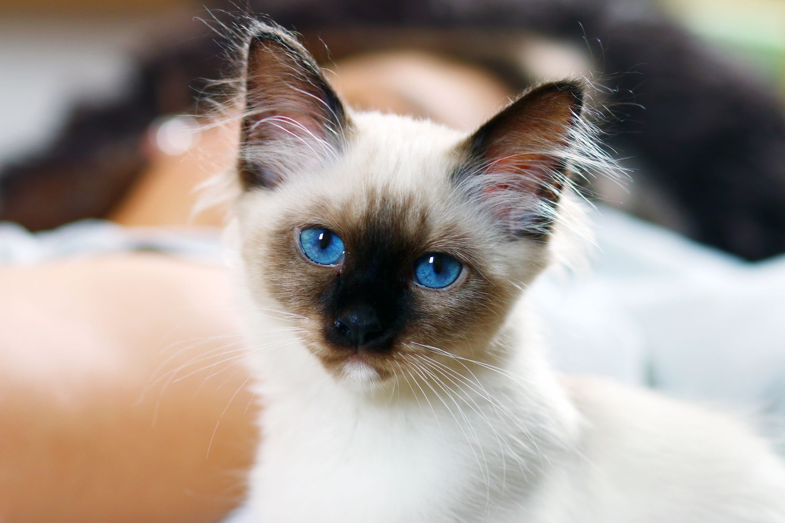 Pin by My Animal on Who's Cute? Birman kittens