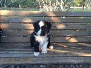 Dogzonline Border Collie Puppies For Sale Australia Pure Breed