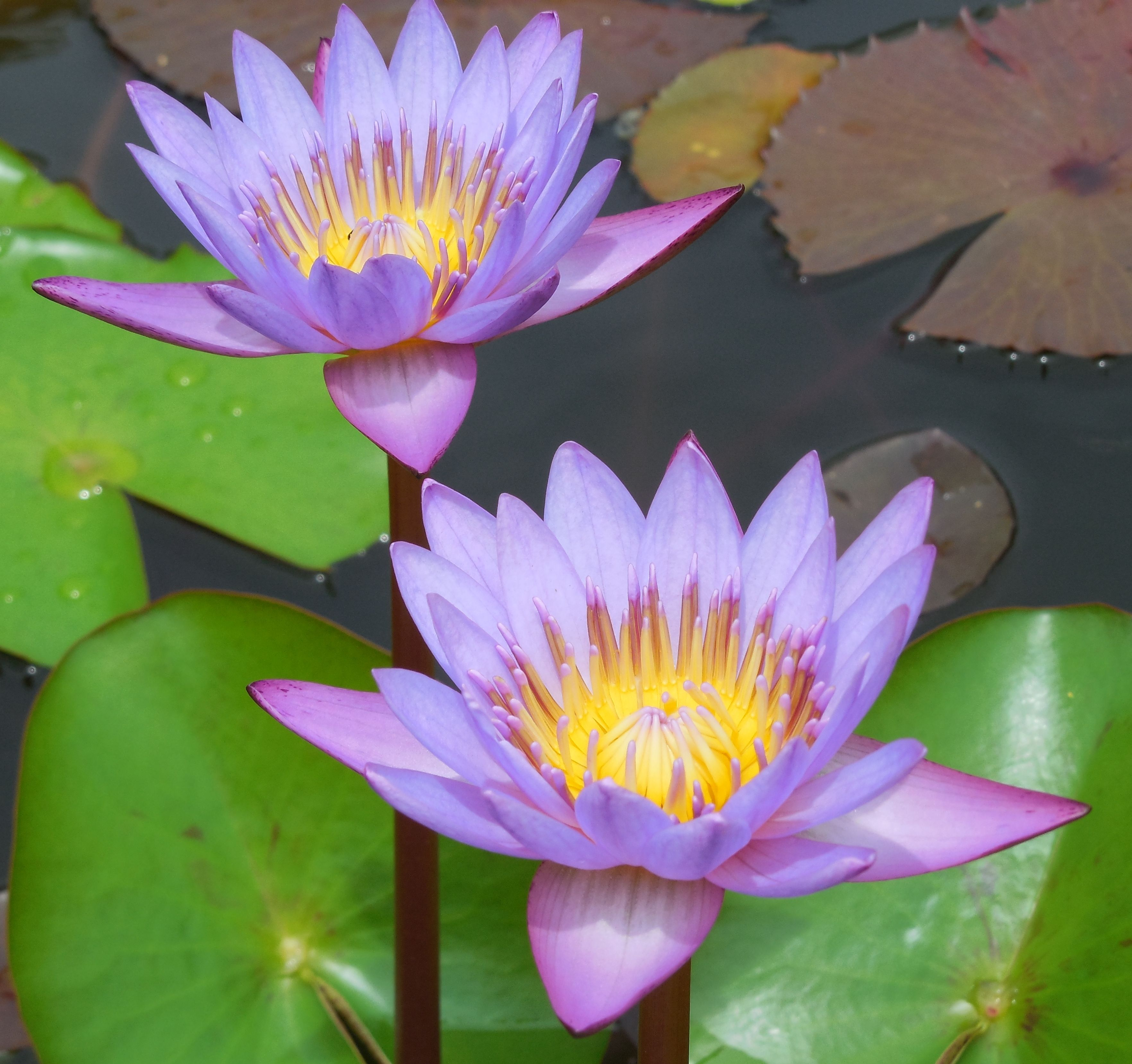 Water Lily Nymphaea Family Nymphaeaceae I Love Colors