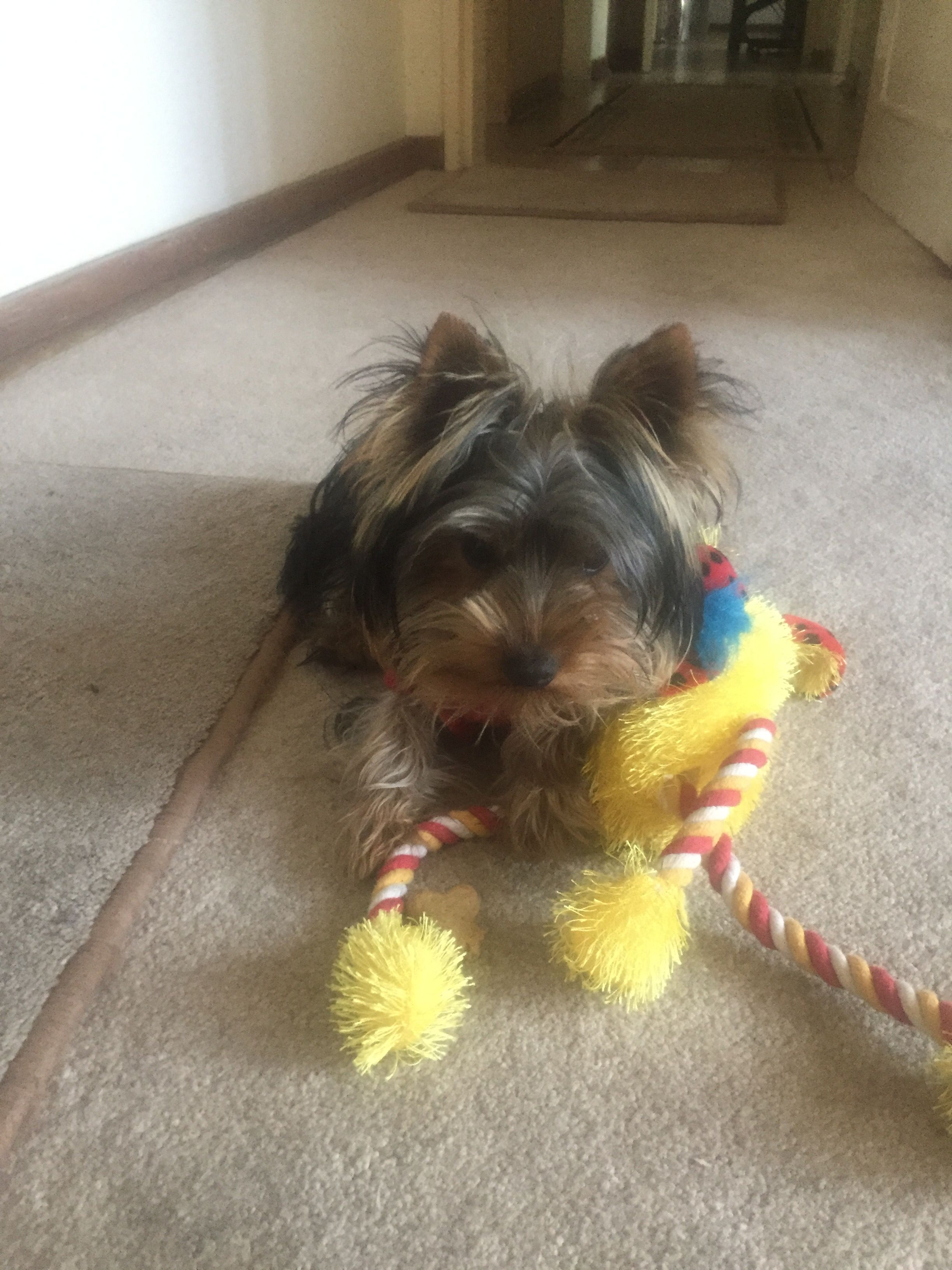 Jake Playing With His Toy Yorkshire Terrier Yorkie Cute Puppies