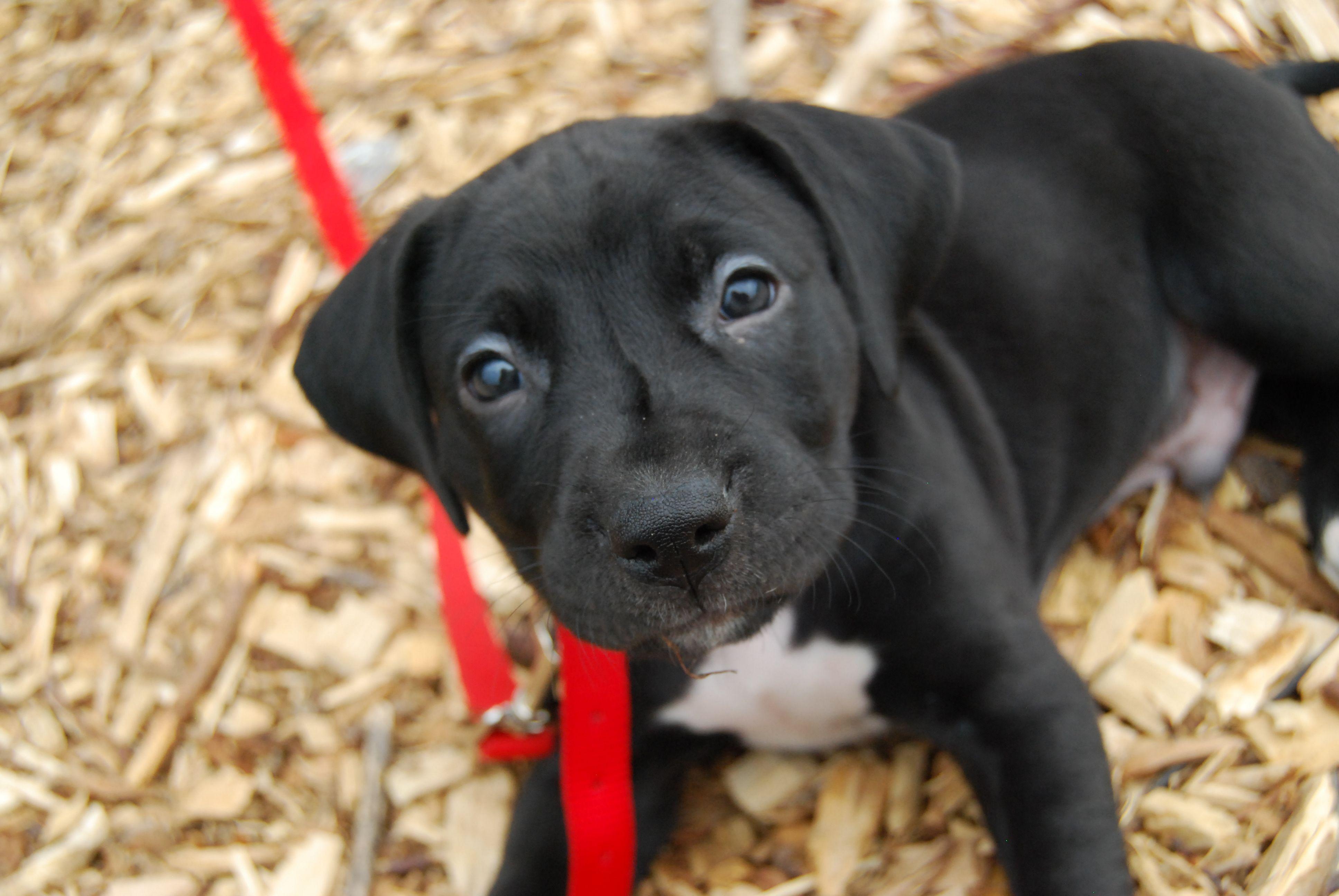 Lab Catahoula Pit Mix Dogs Dog Life Catahoula
