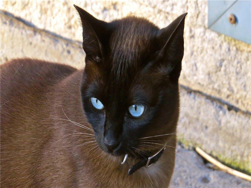 Ojos Azules Cat PoC Filhotes, Animais
