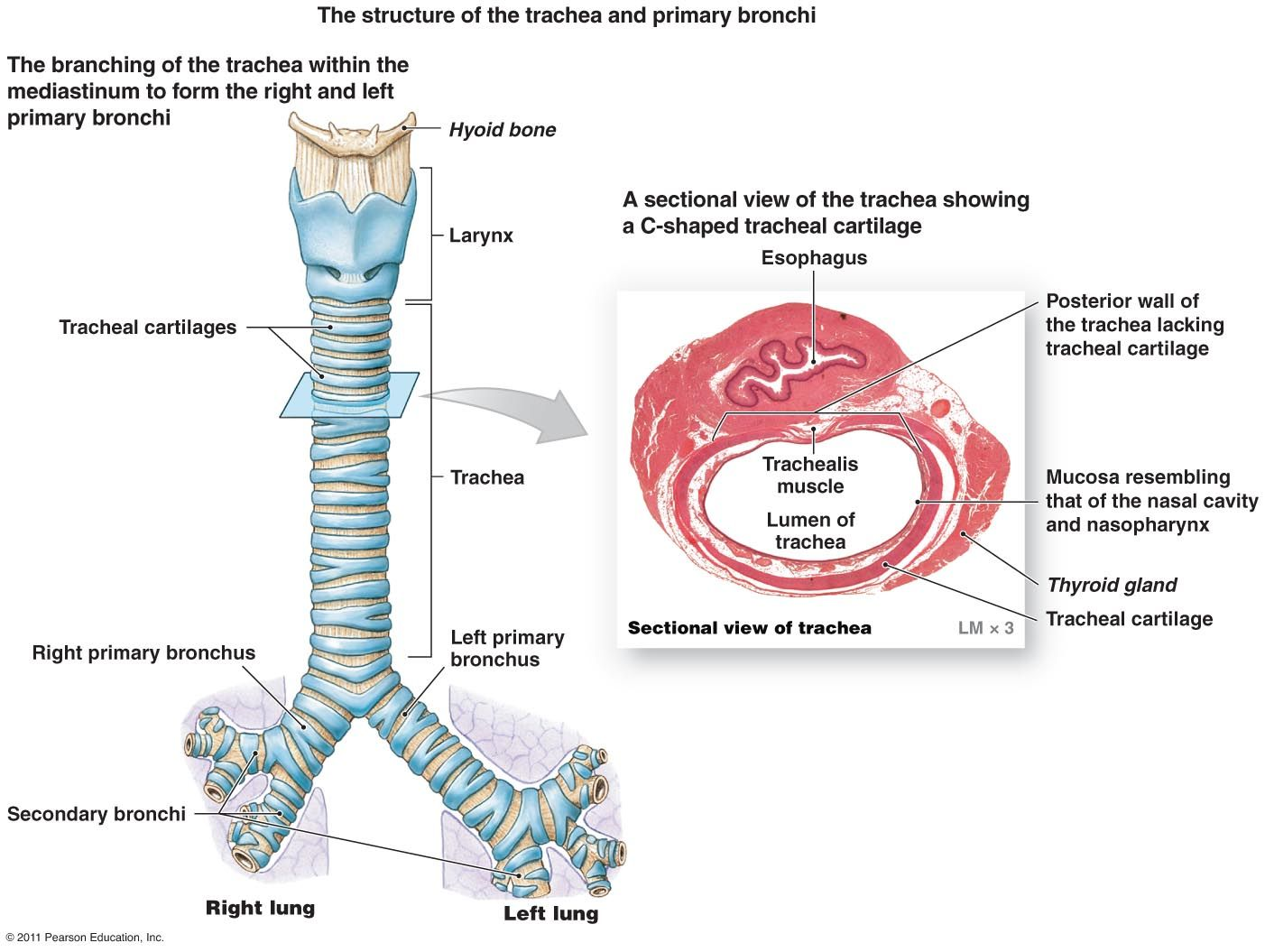 Image Result For Trachea Cartilage
