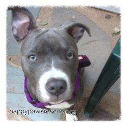 Adopt Bluebelle On Pit Puppies Pitbull Terrier Dog Adoption