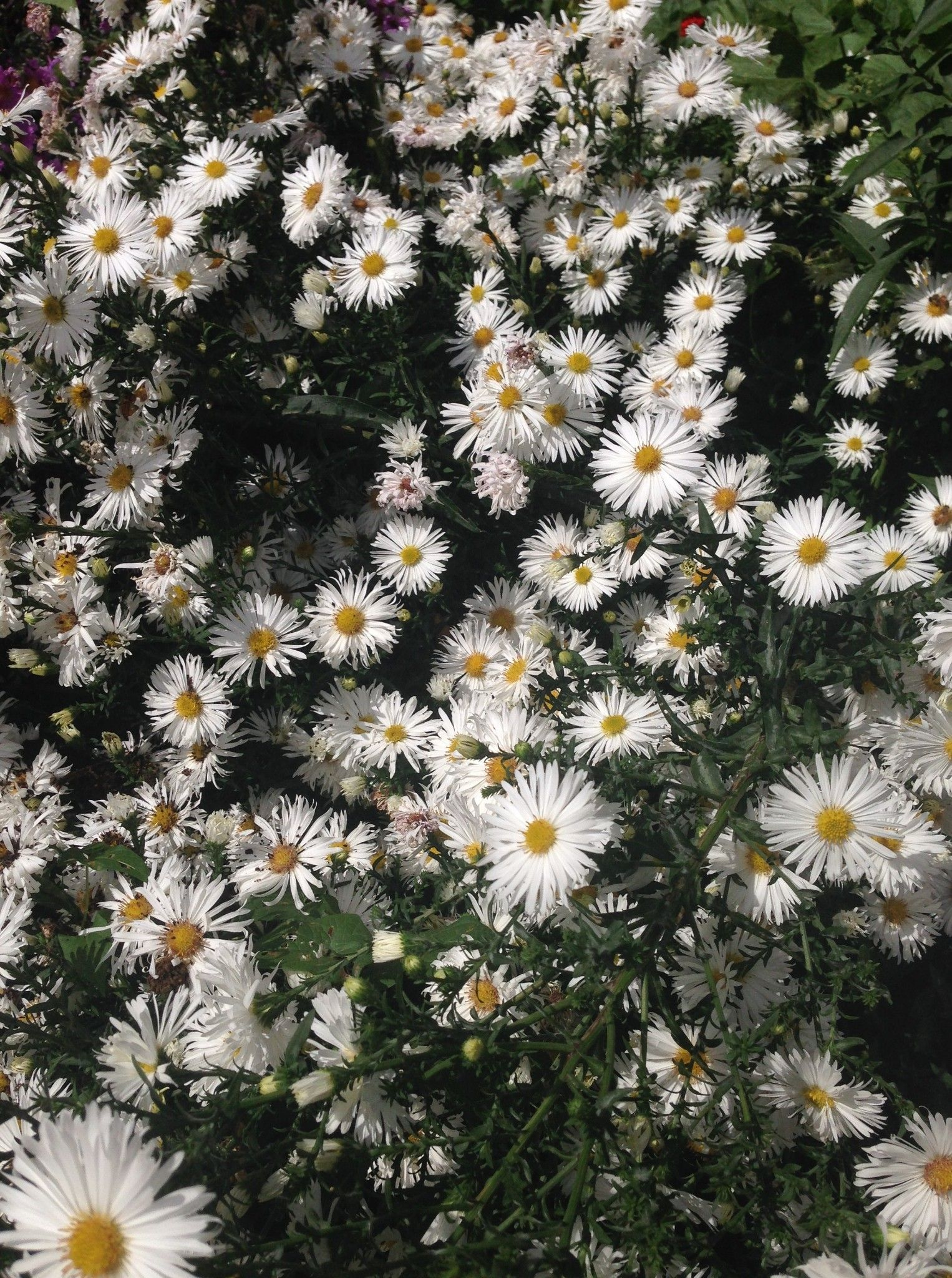 Aster White Lady Ore Des Bois Pinterest Aster Aster Flower