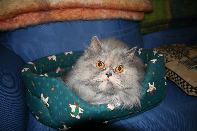 ข นตอนการอาบน ำแมว ต องเตร ยมความพร อมอะไรบ าง ในป 2021 แมวเปอร เซ ย แมวน อย ส น ข
