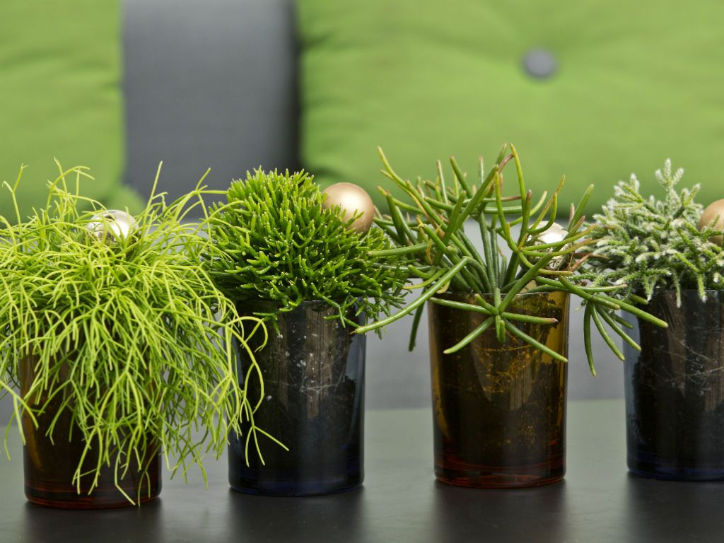 How to Grow and Care for Rhipsalis Drought resistant