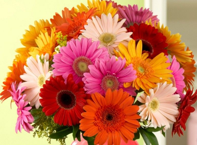 History And Meaning Of Gerbera Daisies Proflowers Blog Gerbera Flower Gerbera Daisy Gerbera