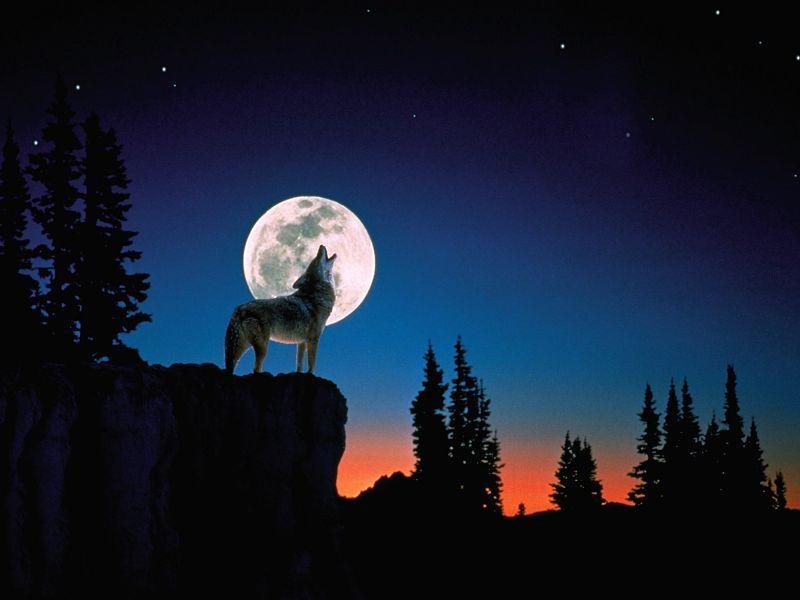 Fondos De Pantalla De Lobos Aullando A La Luna Lobos Pinterest