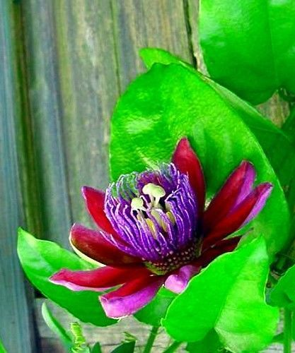 Hirt S Ruby Glow Passion Flower Plant Passiflora 4 Pot Passion Flower Plant Passion Flower Planting Flowers