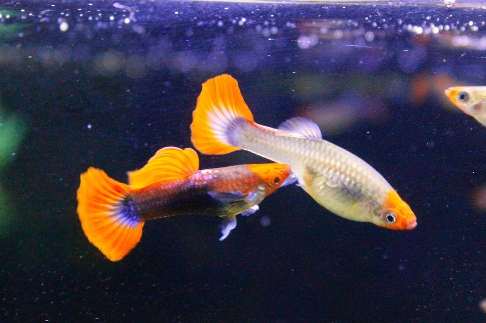 Rare Guppy Tuxedo Red Koi Guppy 3 Months Old 1 Breeding Pair Aquarium Fish Guppy Fish Guppy
