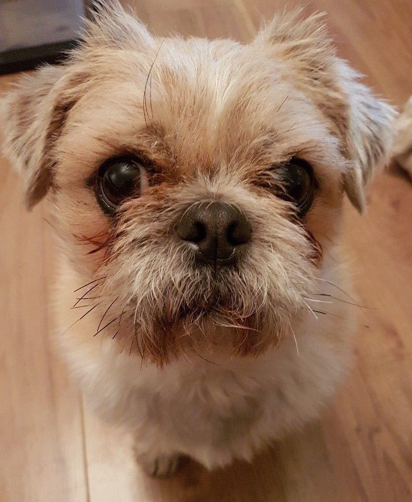 Pug X Shih Tzu Dog Breed Information Dog Breeds Mixed Breed