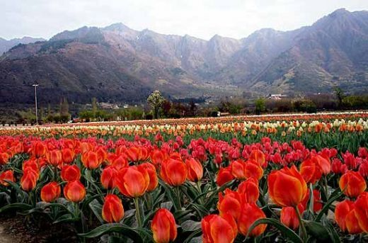 Beautiful Kashmir Valley Home Hd Wallpapers Free For Mobile And Computers Laptop Background Hd Wa Tulips Garden Garden Landscape Design Rock Garden Landscaping