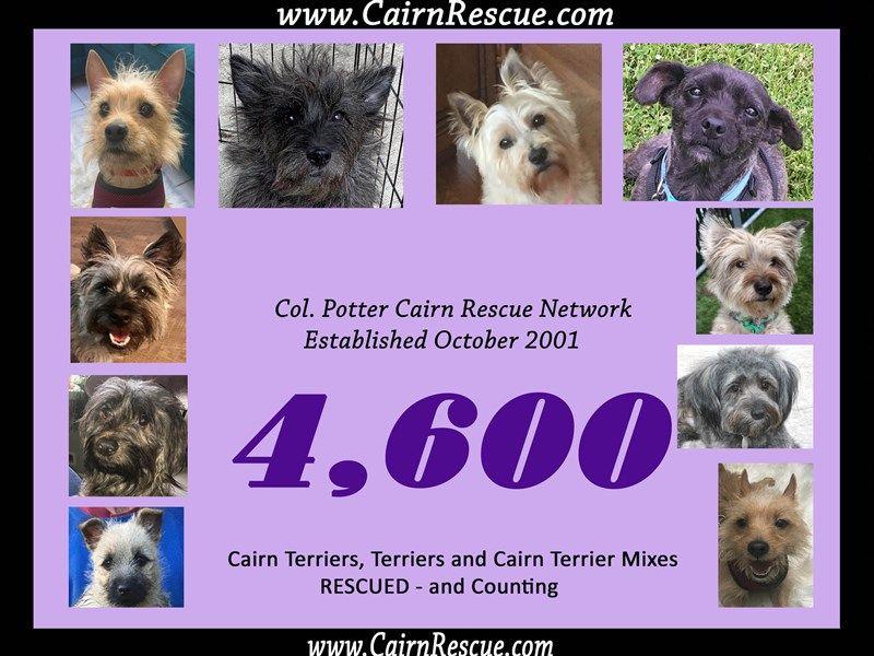 Col Potter Cairn Rescue Network Cairnrescue Cairn Terrier Mix