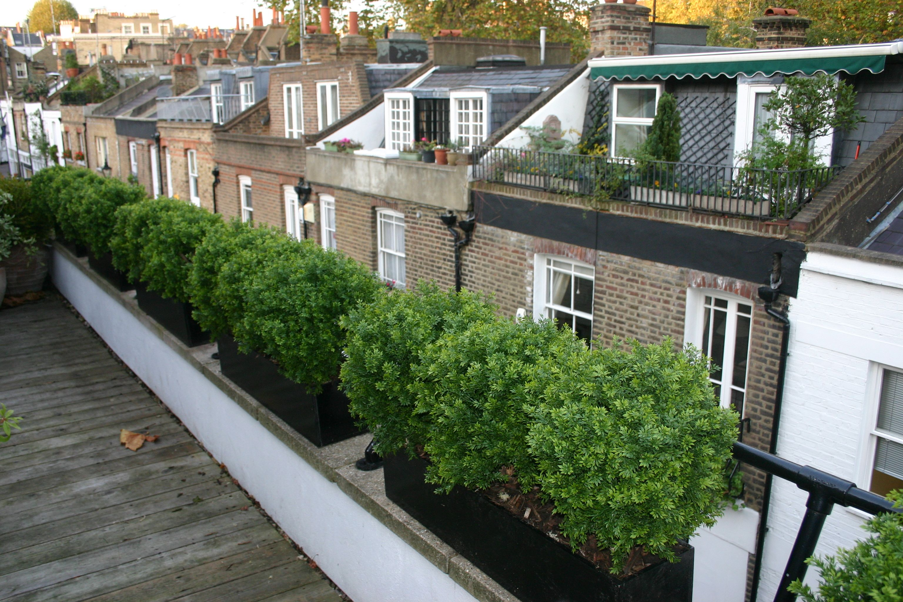 Large tea tree balls in planters line a london roof for Terrace trees