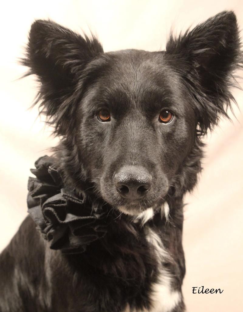 Adopt Eileen on Animal welfare society, Collie, Border