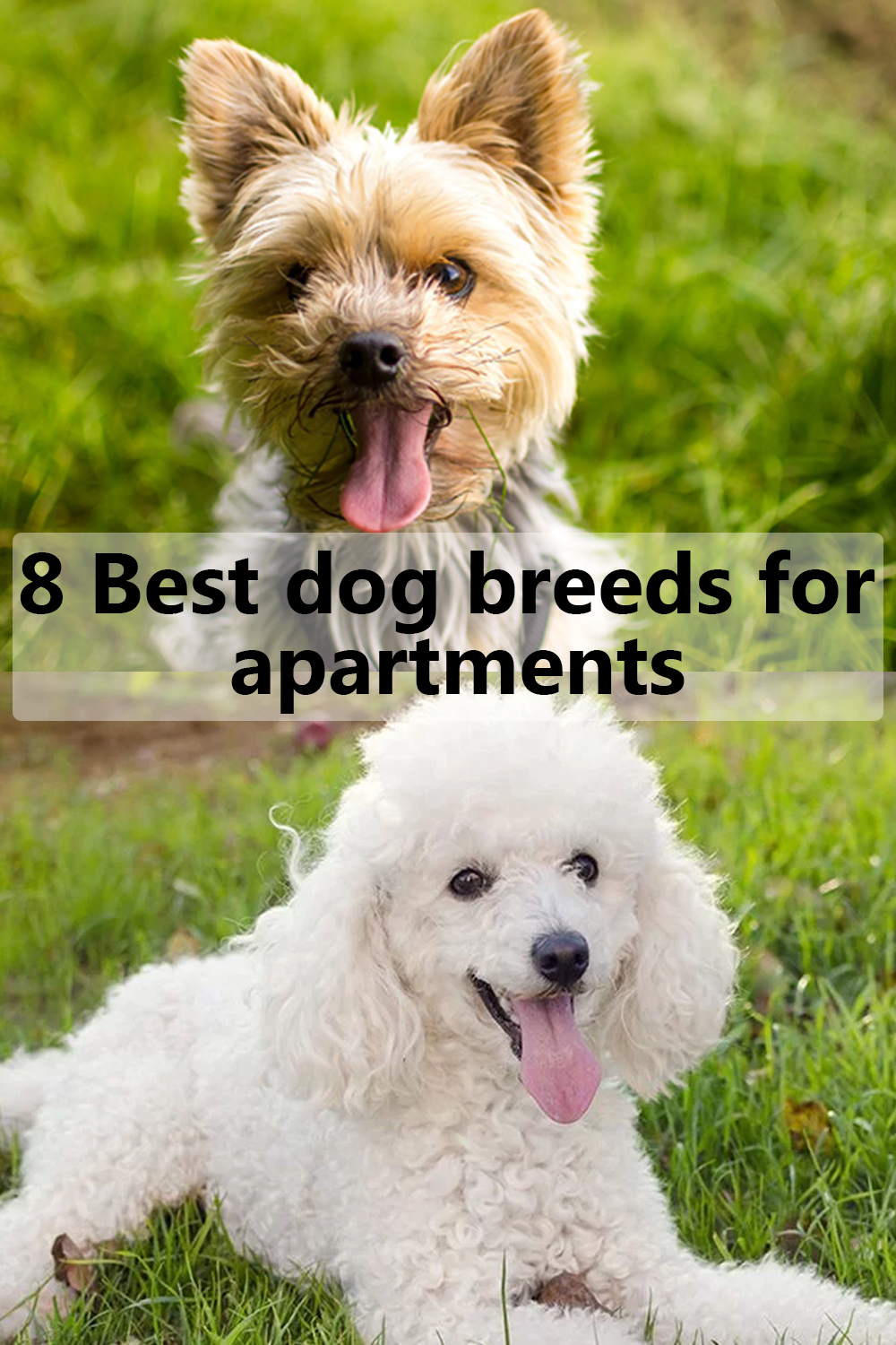 8 Best Little Dog Breeds For Apartments Dog Breeds Best Small Dogs White Dog Breeds