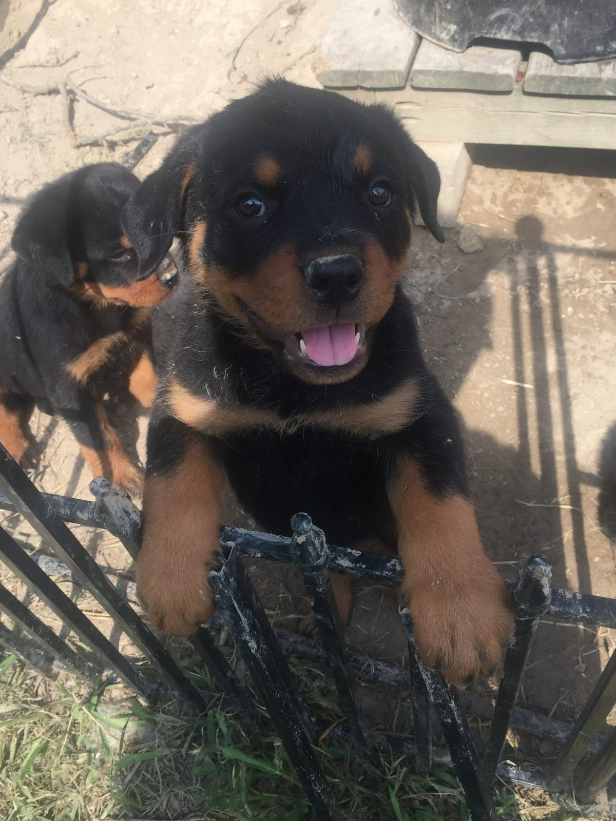 Pin On Rottweiler Puppy Puppies Dogs For Sale