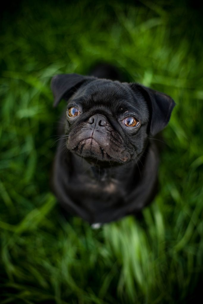 Pug in grass / Sarah W   Flickr - Photo Sharing!