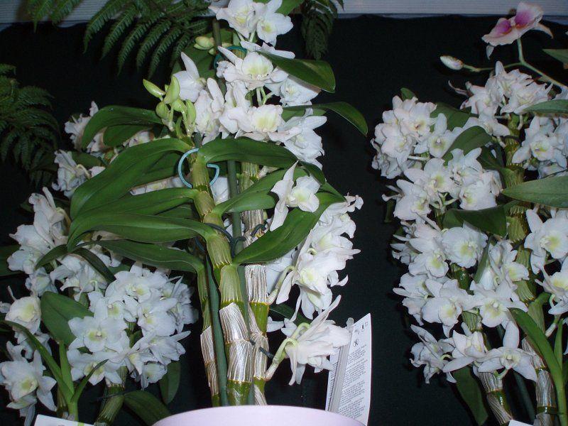 Wszystkie Niezbedne Informacje Dla Milosnikow I Posiadaczy Dendrobium Nobile Jak I Kiedy Podlewamy Jak Pielegno Dendrobium Nobile Orchid Flower White Orchids