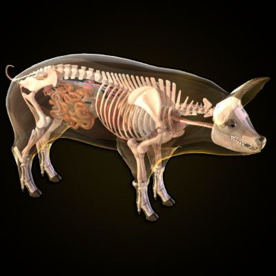 http://www.turbosquid/3d-models/pig-anatomy-heart-3d-model, Skeleton