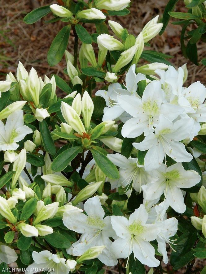 Biale Kwiaty Ogrodowe Naturalna Aranzacja Ogrodu W Bieli Muratordom Pl Moon Garden Love Garden Back Gardens